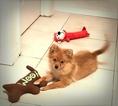 Pomeranian Puppy For Sale in POMPANO BEACH, Florida,
