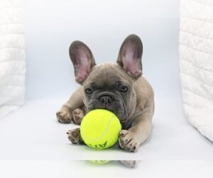 French Bulldog Puppy for sale in CORAL SPRINGS, FL, USA