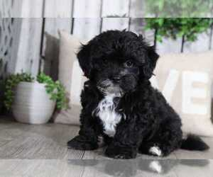 Lhasa Apso Puppy for sale in MOUNT VERNON, OH, USA