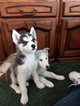 Alaskan Husky Puppy For Sale in RIEGELWOOD, NC, USA