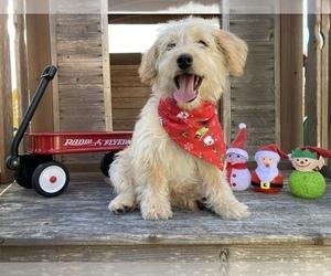 Medium Labradoodle-Poodle (Toy) Mix
