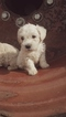 Schnoodle (Miniature) Puppy For Sale in PROSPERITY, PA
