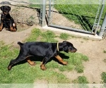 Small #28 Doberman Pinscher