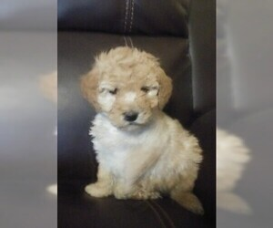 Goldendoodle (Miniature) Puppy for Sale in NORTH LIBERTY, Indiana USA