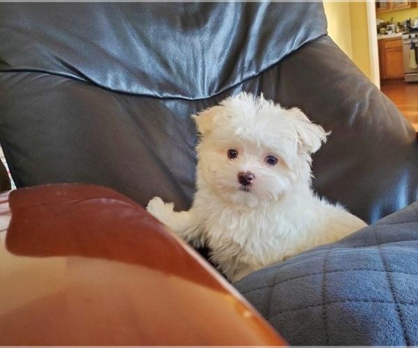 Medium Photo #1 Maltese Puppy For Sale in SANTA CLARITA, CA, USA