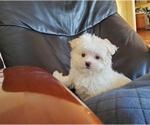 Small Photo #1 Maltese Puppy For Sale in SANTA CLARITA, CA, USA