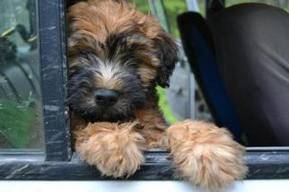 Soft Coated Wheaten Terrier Puppy For Sale in DEER LODGE, MT