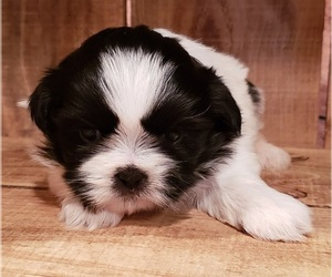 Shih Tzu Puppy for sale in PINK HILL, NC, USA