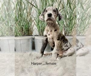 Great Dane Puppy for sale in BIG CANOE, GA, USA