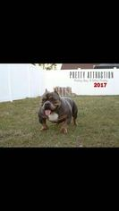 Father of the American Bully puppies born on 08/16/2016