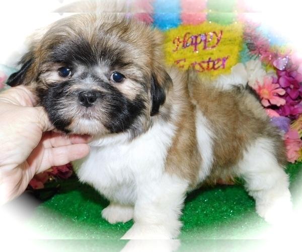 Medium Photo #1 Shih Tzu Puppy For Sale in HAMMOND, IN, USA
