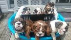 Bulldog Puppy For Sale in DEEP RUN, NC, USA