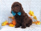 Cock-A-Poo-Poodle (Miniature) Mix Puppy For Sale in CEDAR LANE, PA, USA