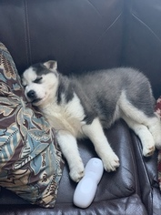 Siberian Husky Puppy for sale in S ZANESVILLE, OH, USA