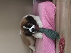Saint Bernard Puppy For Sale in ARCADIA, Florida,