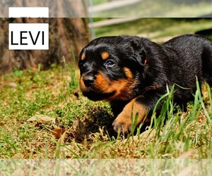 Rottweiler Dog for Adoption in DENTON, Texas USA