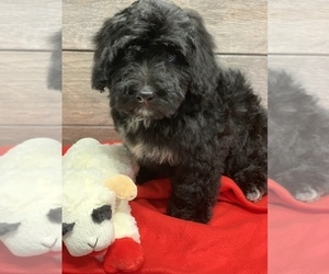 Bernedoodle-Poodle (Miniature) Mix Puppy for sale in RICHMOND, IL, USA