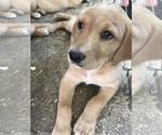 Puppy 4 Goldendoodle-Labrador Retriever Mix