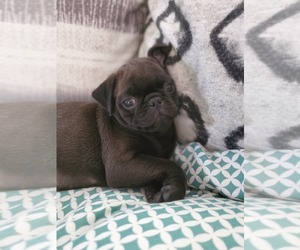 Pug Puppy for sale in RINGGOLD, GA, USA