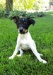 Rat Terrier Puppy For Sale in APPLETON, WI, USA
