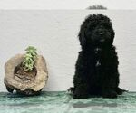 Puppy 3 Bernedoodle-Poodle (Toy) Mix