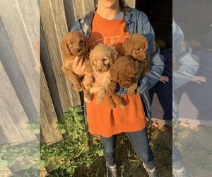 Goldendoodle Puppy for sale in LEXINGTON, AL, USA