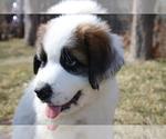 Puppy 3 Great Pyrenees-Saint Bernard Mix