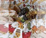 Small #13 Chihuahua