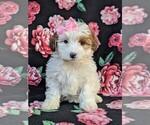 Small Poodle (Miniature)-Shorkie Tzu Mix