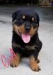 AKC German Bloodline Rottweiler puppies