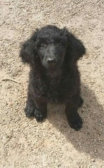 Poodle (Standard) Puppy for sale in HARTWELL, GA, USA
