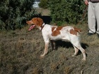 Brittany Puppy For Sale in STERLING, Colorado,