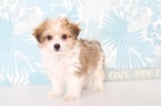 Papichon Puppy For Sale in NAPLES, FL, USA