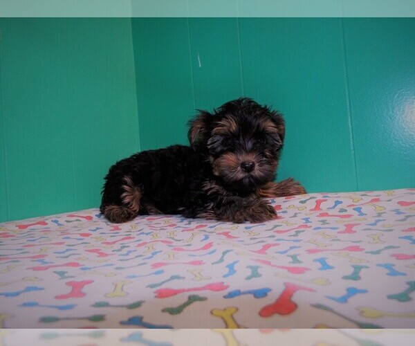 Medium Photo #2 Yorkshire Terrier Puppy For Sale in PATERSON, NJ, USA