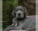 Great Dane Pups AKC Blue Champ Lines