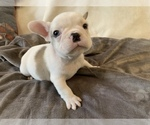Small Photo #16 French Bulldog Puppy For Sale in JOHNS ISLAND, SC, USA