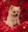 Pomeranian Puppy For Sale in KENNESAW, GA,
