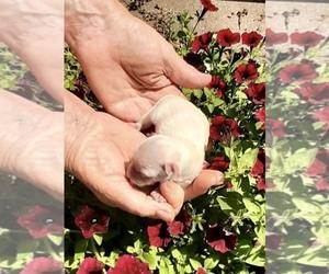 Maltese Dog for Adoption in CORNERSVILLE, Tennessee USA