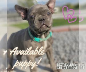 French Bulldog Puppy for Sale in CLARKSTON, Utah USA