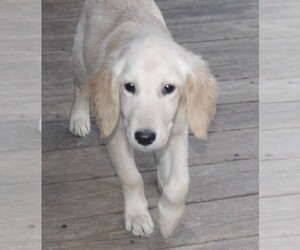 Golden Retriever Puppy for Sale in STATEN ISLAND, New York USA