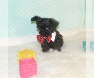 Broodle Griffon Puppy for Sale in WARRENSBURG, Missouri USA