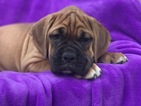 Boxer Puppy For Sale in EAST EARL, PA,