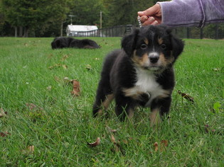 Australian Shepherd Puppy For Sale in PINE PLAINS, NY