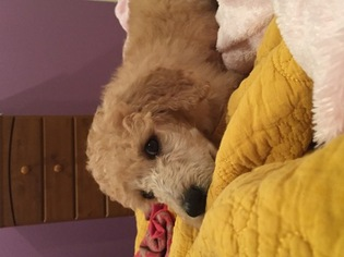 Poodle (Standard) Puppy For Sale in ITALY, TX