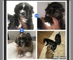 Shih Tzu Puppy For Sale in SOUTH AMBOY, NJ, USA