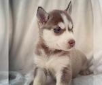 Puppy 5 Siberian Husky