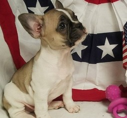 French Bulldog Dog For Adoption in ALEXANDRIA, VA, USA