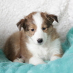 Shetland Sheepdog Puppy For Sale in GAP, PA, USA