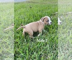 Small #6 American Pit Bull Terrier