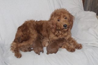 Mother of the Goldendoodle puppies born on 12/17/2018